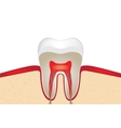 Crop of tooth vector image vector image