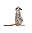 meerkat from a splash watercolor colored vector image vector image