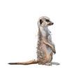 meerkat from a splash watercolor colored vector image vector image