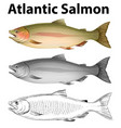 three drawing styles of atlantic salmon vector image vector image