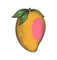 ripe papaya hand drawn isolated icon vector image vector image