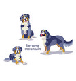 bernese mountain dog vector image vector image