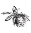 cherimoya vintage vector image vector image