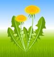 dandelion herb vector image