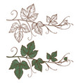 sketch grapevine isolated on white vector image vector image