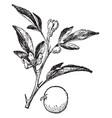 rusk citrange vintage vector image vector image