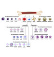 blood cells erythrocyte development red blood vector image vector image