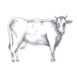 cow hand drawn vector image vector image