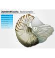 Nautilus -Nautilus pompilius vector image vector image