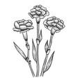dianthus carnation flowers sketch engraving vector image vector image