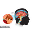 diagram pituitary and pineal glands in the vector image vector image