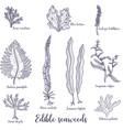 drawing edible seaweed vector image