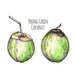 ink sketch young green coconut vector image