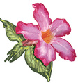 Adenium Desert Rose flower and leaves Sketch on a vector image