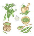 pea plant with pods and seeds isolated on white vector image vector image