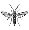 sesiidae vintage vector image vector image
