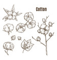 set isolated sketches cotton bolls branch vector image vector image