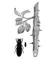 beetle borer vintage vector image vector image