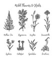 herbs and wild flowers drawing set vector image