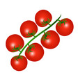 a red cherry tomatoes on a branch isolated on a vector image vector image