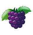 fresh grapes with green leaves vector image vector image
