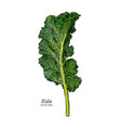 kale hand draw sketch vegetable vector image vector image