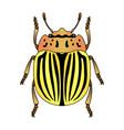 colorado potato beetle leptinotarsa decemlineata vector image vector image