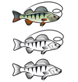 perch fish vector image vector image