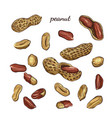 peanut hand drawn vector image