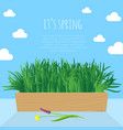 fresh green spring grass s in pot vector image vector image
