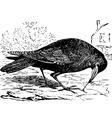 Rook bird engraving vector image