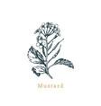 mustard sketchdrawn spicemedicinal herb vector image vector image