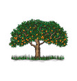 the isolated orange tree with mature fruits vector image vector image