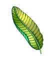 banana tropical exotic leaf color hand drawn vector image vector image