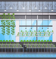 organic hydroponic green plants row cultivation vector image