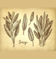 sage ink sketch vector image