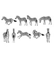 set african zebra side and front view outline vector image