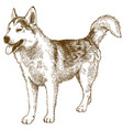 engraving drawing of husky dog vector image vector image