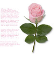 Pink Rose hand drawn isolated on white vector image vector image