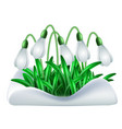 spring white flowers of snowdrops vector image