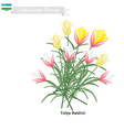 Tulipa Batalinii The Popular Flower of Uzbekistan vector image vector image