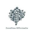 corallina officinalis drawing vector image