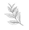 green tea branch tea leaves sketch hand drawn vector image vector image