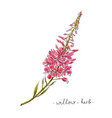 wild flower willow herb hand drawn in color vector image vector image