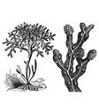 irish moss engraving vector image vector image