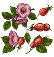 rosehip flowers and berries vector image vector image