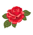red rose on a white background color vector image