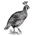lophortyx californicus quail vintage vector image vector image