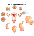 Fertilisation process on human vector image vector image