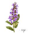 wild plant sage hand drawn in color vector image vector image